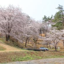 野土山の桜