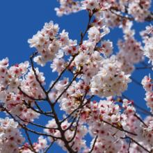 井戸桜並木の画像