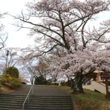 美の山公園桜の画像