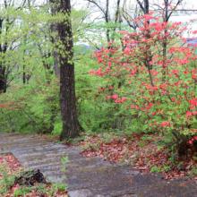 美の山公園ヤマツツジの画像