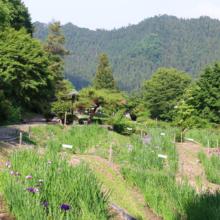 両神花菖蒲園