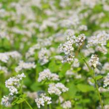 花見の里そばの花の画像