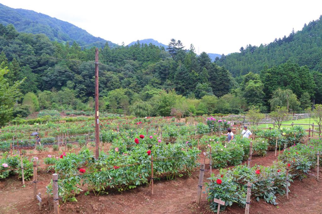 両神山麓花の郷ダリア園の画像
