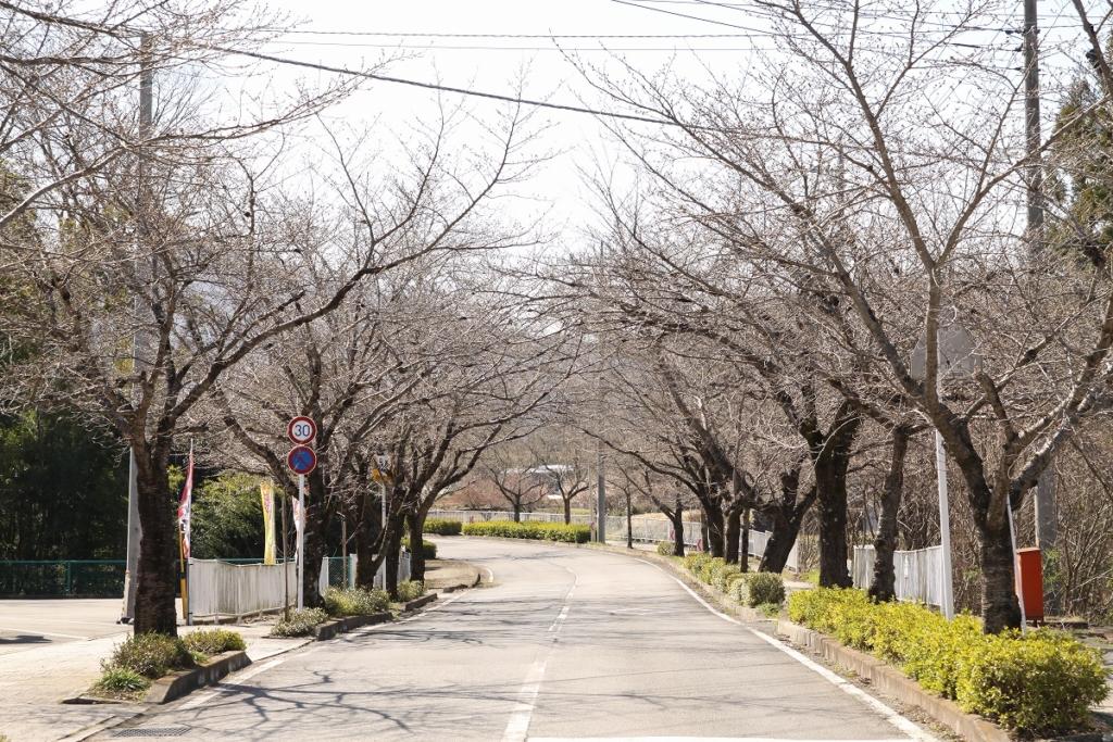 北桜通りの画像