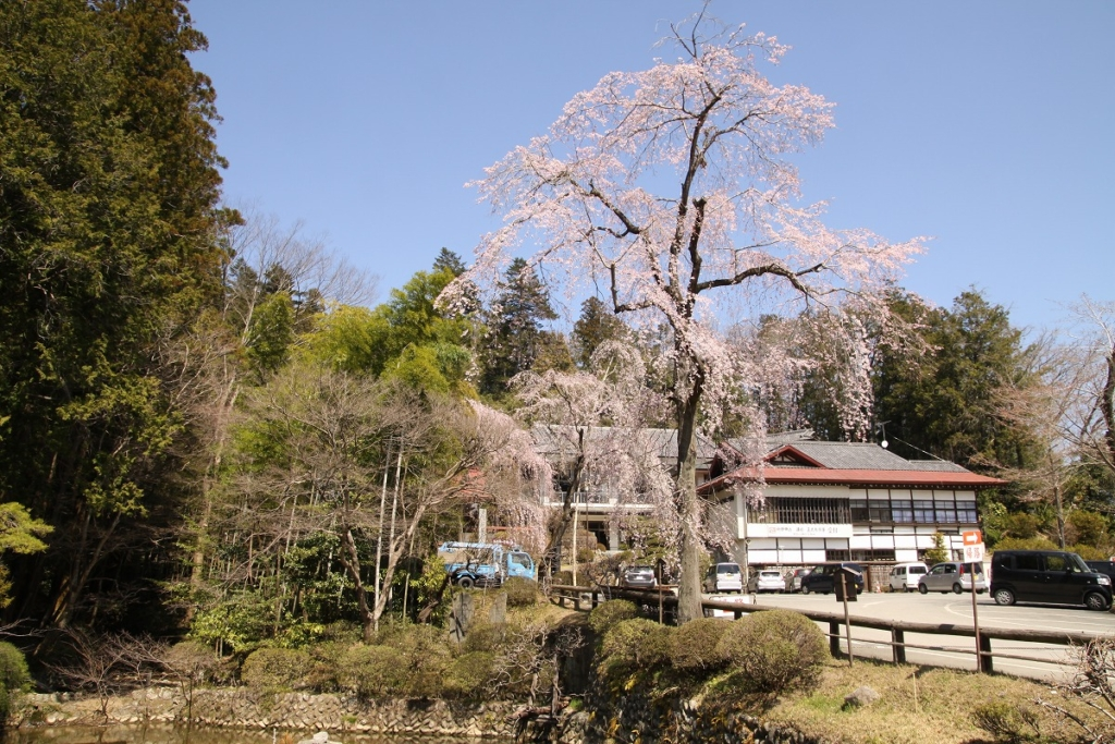 宝登山しだれ桜の画像