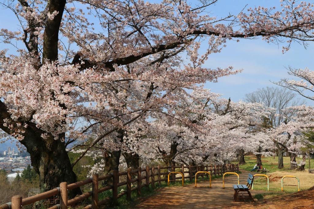 羊山公園の桜の画像