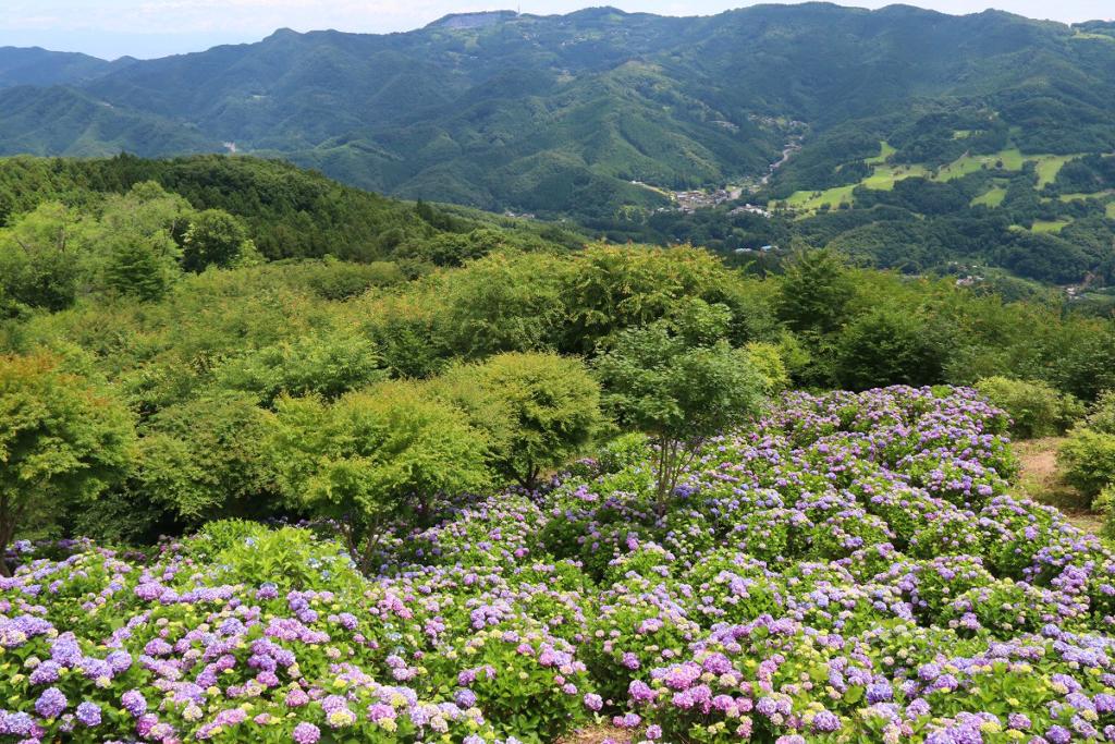 美の山公園アジサイの画像