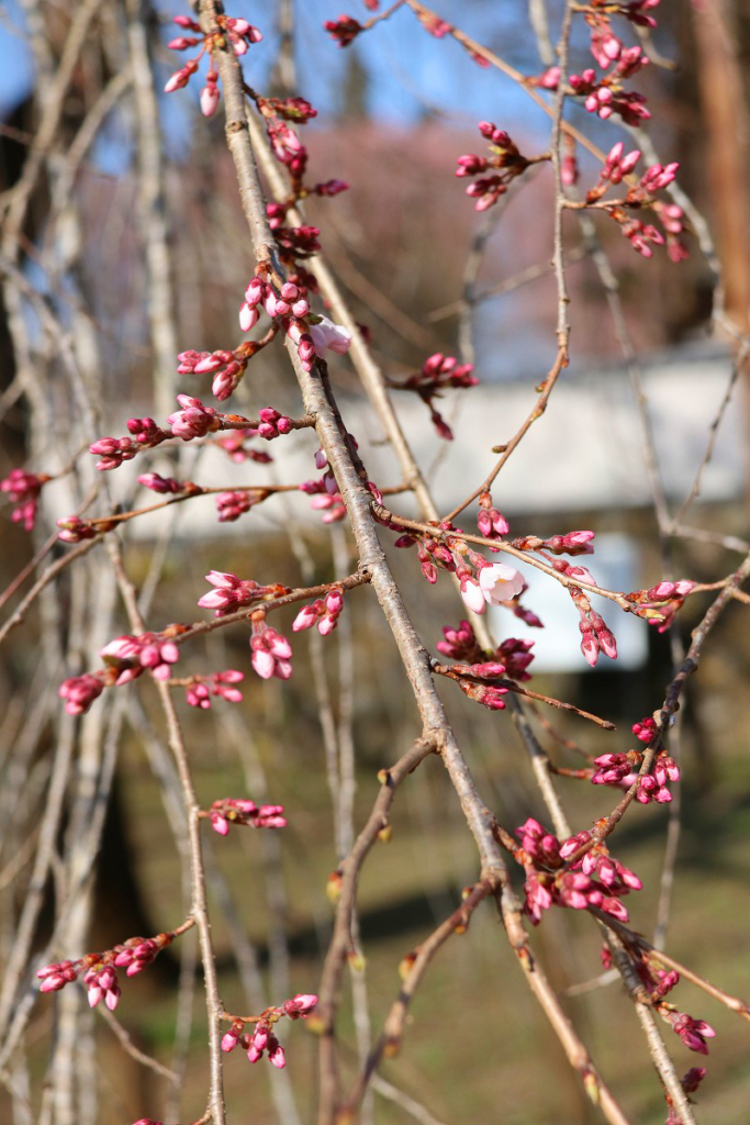 清雲寺のしだれ桜の画像