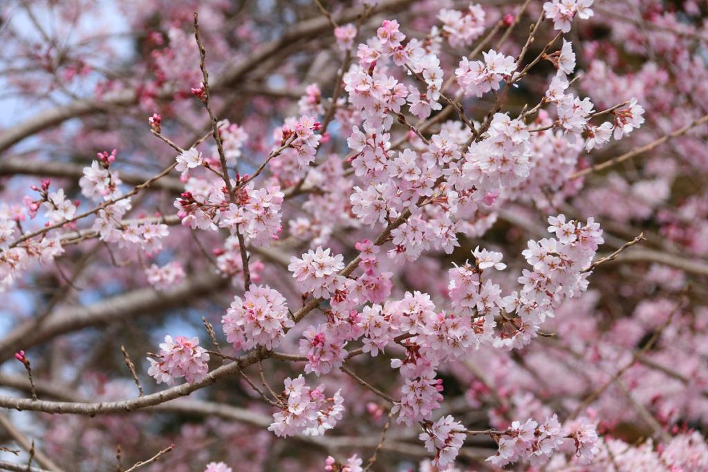 大手の桜の画像