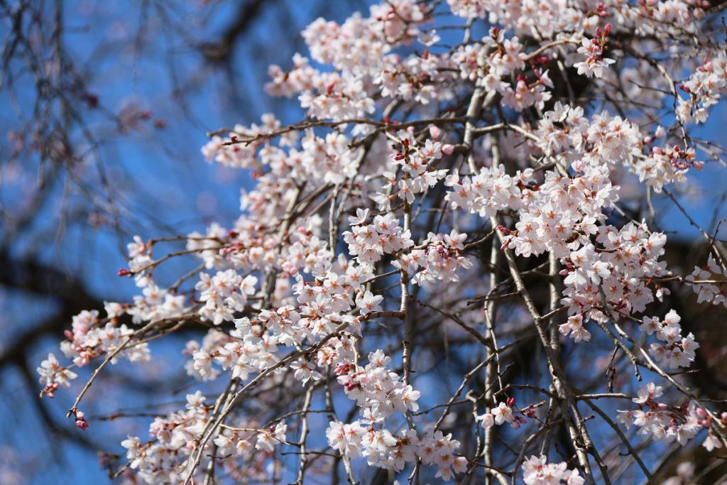 長泉院しだれ桜の画像