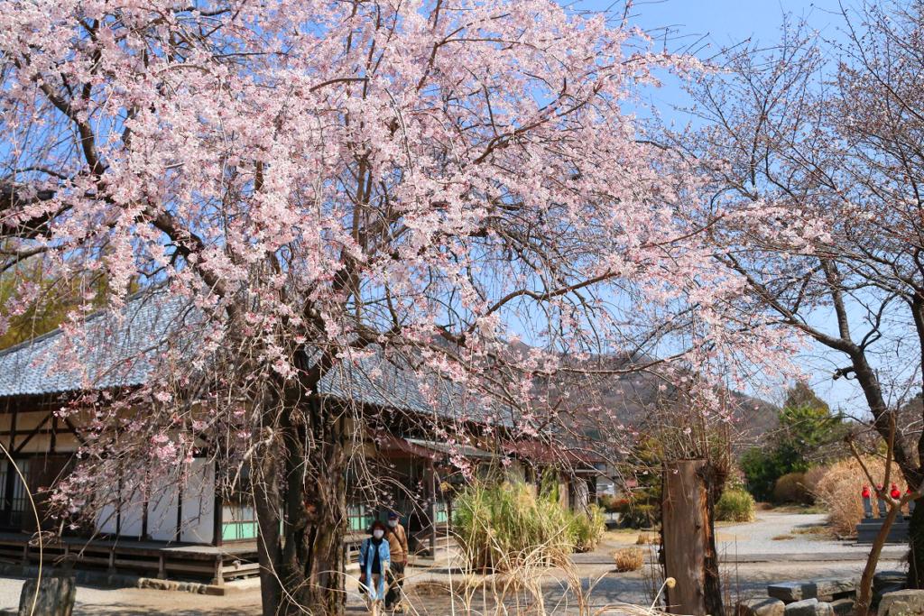 道光寺しだれ桜の画像