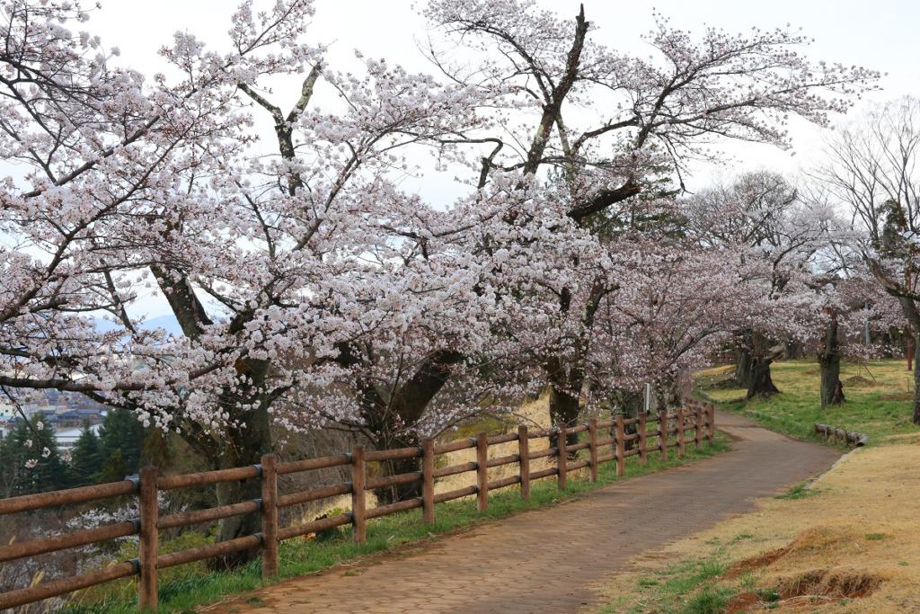 羊山公園見晴らしの丘桜の画像