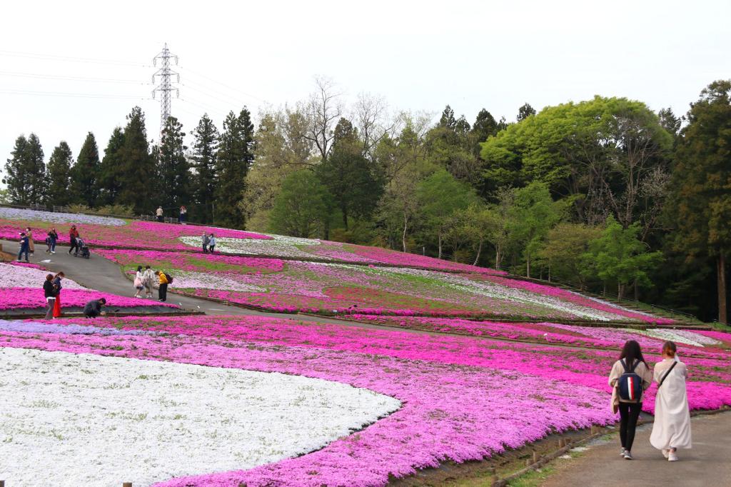 羊山公園芝桜の丘の画像