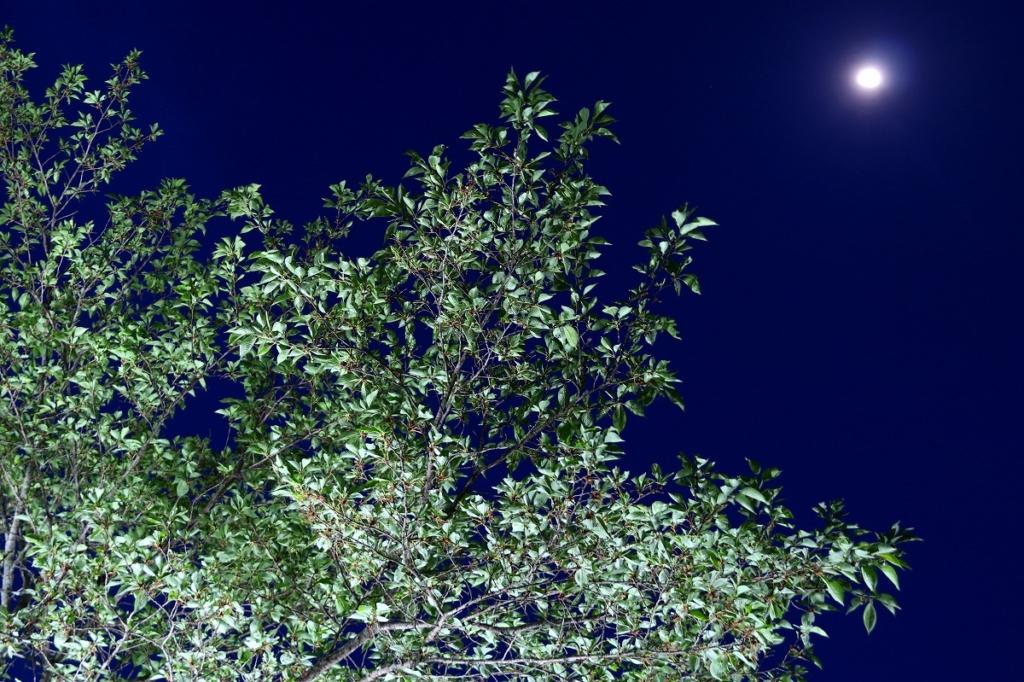長瀞桜若葉のライトアップの画像