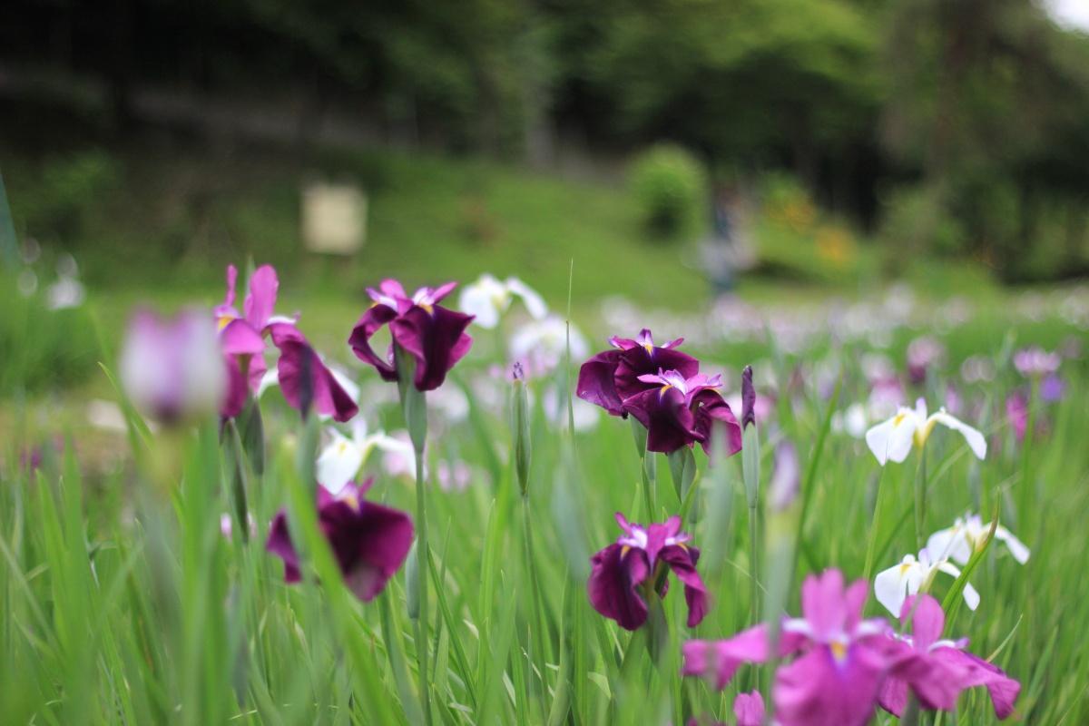花しょうぶ園