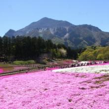芝桜まつり2018の画像
