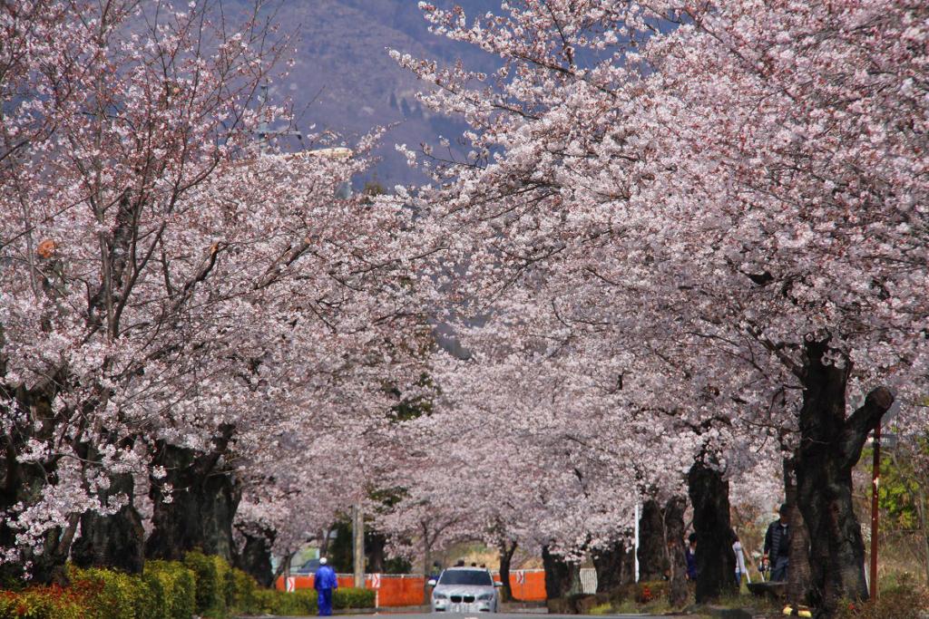 長瀞桜まつり2019の画像