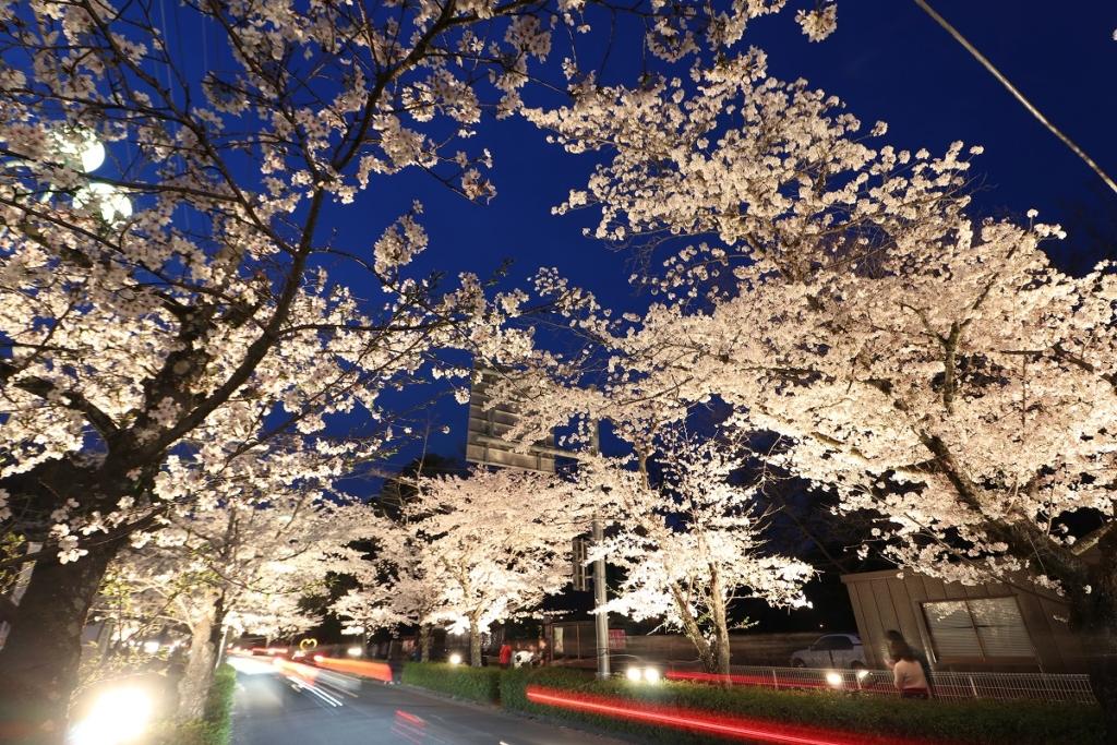 長瀞桜ライトアップの画像